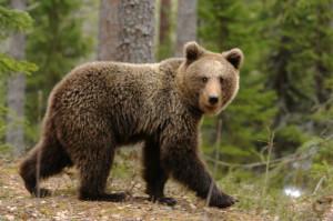 Niedźwiedź na Magurce - Bielsko-Biała